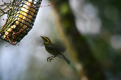 Poster featuring the photograph Townsend Warbler In Flight by Kym Backland