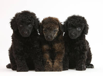 Toy Poodle Pups Poster