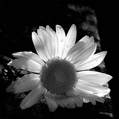 Poster featuring the photograph Translucent Daisy by Cindy Haggerty