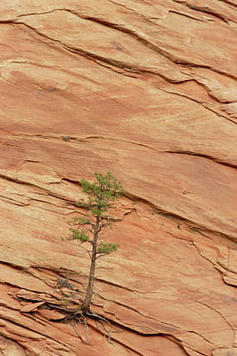 Tree Clinging To Sandstone Formation Poster