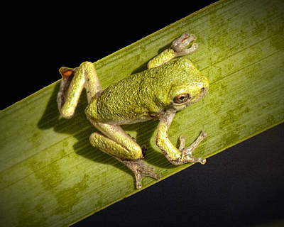 Tree Frog Sitting On A Green Leaf Poster by Randall Nyhof