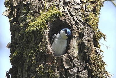 Tree Swallow Poster by Angie Vogel