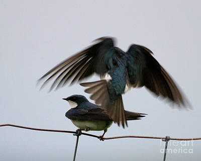 Tree Swallows Courtship Poster