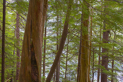 Trees In The Tongass Poster