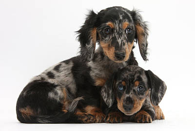 Tricolor Dachshund Puppies Poster by Mark Taylor