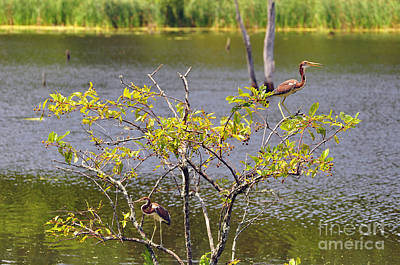 Tricolored Heron Tree Poster