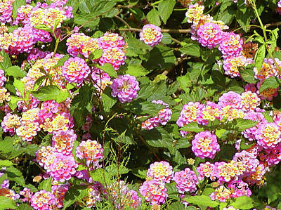 Poster featuring the photograph Tropical Lantana by Roena King