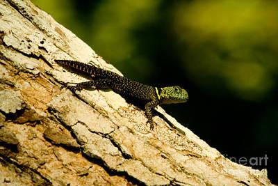 Tropical Thornytail Iguana Poster by Dant� Fenolio