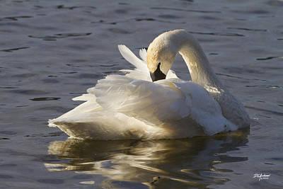 Trumpeter Swan Preening Poster