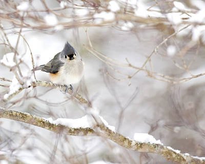 Tufted Titmouse In Snow Poster by Rob Travis