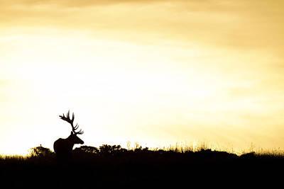 Tule Elk Bull At Sunrise Point Reyes Poster by Sebastian Kennerknecht
