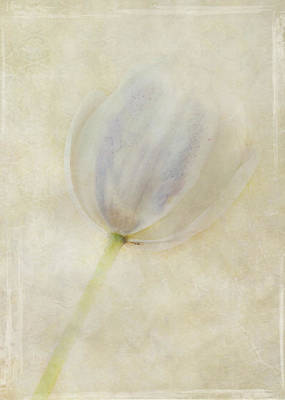 Tulip 1 Poster by Marion Galt