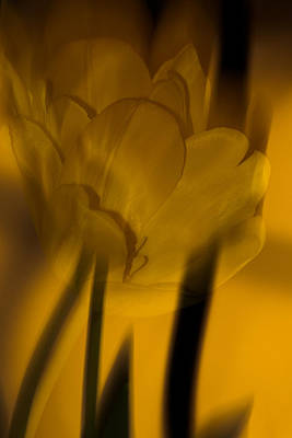 Poster featuring the photograph Tulip Abstract by Ed Gleichman