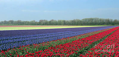 Tulip And Hyacinth Fields In Holland. Panorama Poster