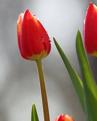 Poster featuring the photograph Tulip Sparkle by Coby Cooper