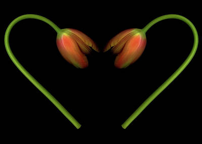 Tulips In Shape Of Heart Poster