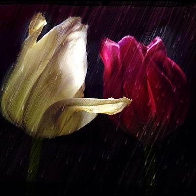 Tulips In The Rain Poster by Paul Cutright