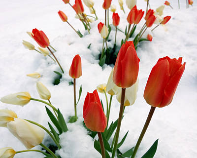 Tulips In The Snow Poster by Steven Milner