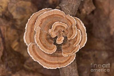 Turkeytail Fungus Trametes Versicolor Poster by Ted Kinsman