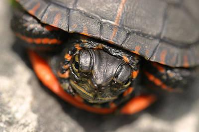 Turtle Peeking Poster by David Rucker