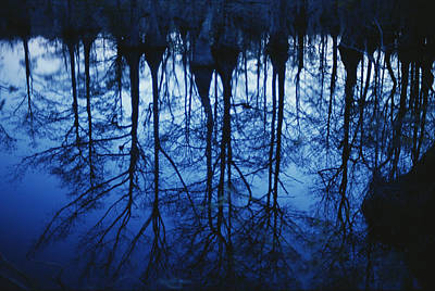Twilight View Of Bald Cypress Trees Poster by Raymond Gehman