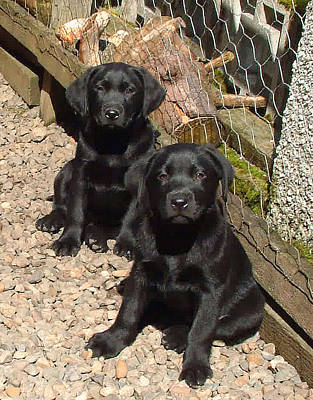 Twin Black Labrador Puppies Poster by Richard James Digance