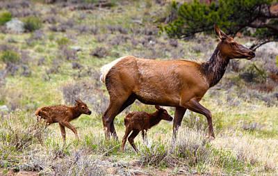 Twin Elk Calves Poster