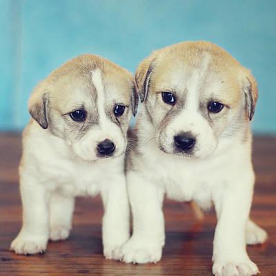 Twins Puppies Poster by Christina Esselman