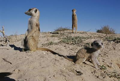 Two Adult Meerkats Suricata Suricatta Poster by Mattias Klum