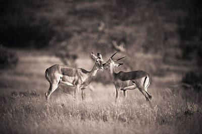 Two Antelopes Together In A Field Poster by David DuChemin