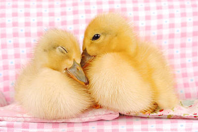 Two Baby Ducks Who Like Each Other Poster