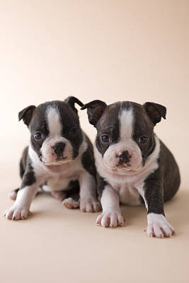 Two Boston Terrier Puppies Poster by Mixa