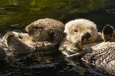 Two Captive Sea Otters Floating Back Poster by Tim Laman