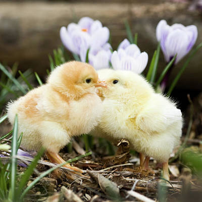 Two Chicks Kissing Poster
