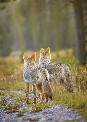 Two Coyotes Canis Latrans Canmore Poster by Richard Wear