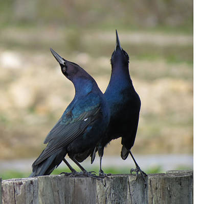 Two Crows Poster by Vijay Sharon Govender