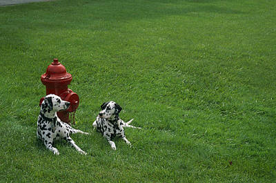 Two Dalmatians Sit On Green Grass Poster by Nadia M.B. Hughes
