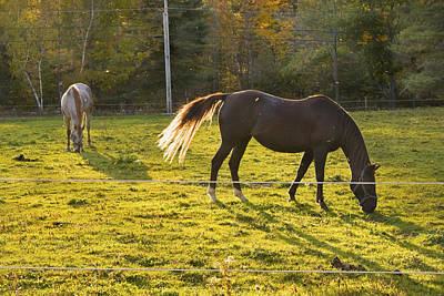 Two Horses Grazing In Back Lit Field Autumn Maine Poster