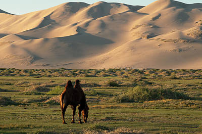 Two Humped Bactrian Camel In Gobi Desert Poster