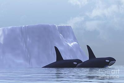 Two Killer Whales Swim Near An Iceberg Poster