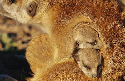 Two Meerkat Pups Sleep Under The Arm Poster by Mattias Klum