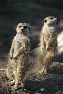 Two Meerkats, Suricata Suricatta, Stand Poster by Nicole Duplaix