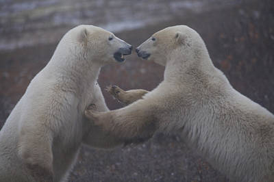 Two Polar Bears Spar Playfully Poster by Taylor S. Kennedy
