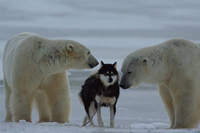 Two Polar Bears Ursus Maritimus Sniff Poster
