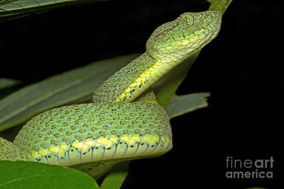 Two Striped Forest Pit Viper Poster by Dante Fenolio