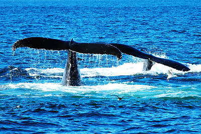 Two Whale Tails Poster by Paul Ge
