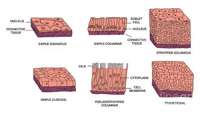 Types Of Epithelial Cells Poster by Science Source