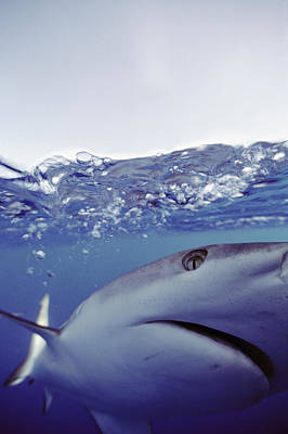 Underwater View Of Gray Reef Shark Poster by Bill Curtsinger