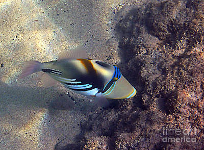 Upclose With A Lagoon Triggerfish Poster