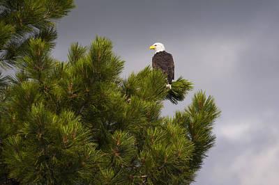 Usa, Oregon, Lake County, Bald Eagle (haliaeetus Leucocephalus) On Tree Poster